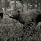RDR2 American Black Bear